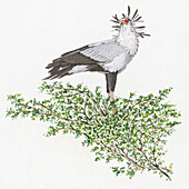 Secretary bird, illustration