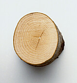 Cross-section of sycamore branch