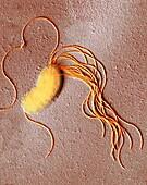 Pseudomonas fluorescens bacterium, TEM