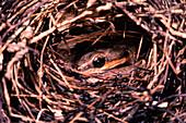 Bird snake raiding a bird nest