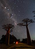 Night sky over avenue of baobabs, Madagascar