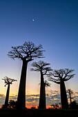 Crescent Moon over baobab trees, Madagascar