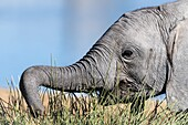 African elephant calf using its trunk