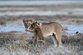 African lioness with playful cub