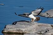 Augur buzzard taking off