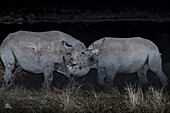 Black rhinos fighting