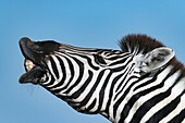 Burchell's zebra facial expression