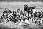 Startled Burchell's Zebras in water