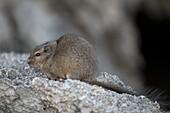 Dassie rat feeding on rocky outcrop