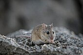 Namaqua rock mouse eating