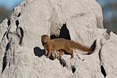 Slender mongoose on termite mound