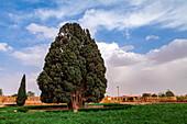 4000 year old cypress (Cupressus sempervirens) tree