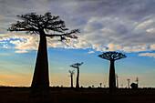 Silhouette of baobab trees, Madagascar