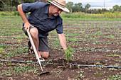 Man tending to hemp plants, New Mexico, USA