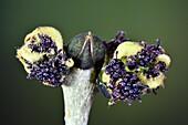 Ash (Fraxinus excelsior) tree flowers