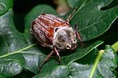 Cockchafer beetle