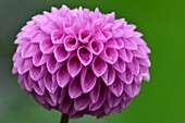 Dahlia 'Abbie' flowers