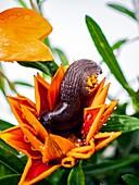 Black slug feeding on Gazania sp. flower bloom