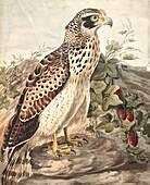 Crested serpent-eagle, 18th century illustration