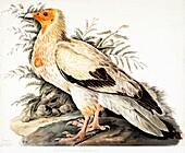 Egyptian vulture, 18th century illustration