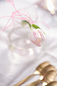 Rosa-weiße Tulpe
