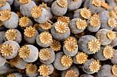 Dried poppy seedheads