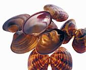 Verace mussels