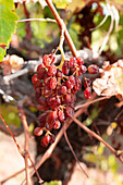 Bunch of sun muscat grapes drying on the vine in an Australian vineyard.
