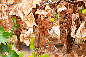 Bunches of dried sun muscat grapes amongst foliage on a summer pruned vine.