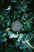 Broccoli crown growing in the garden.