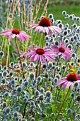 Scheinsonnenhut 'Rubinstern' und Mannstreu im Beet