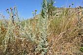 Absinthe plant