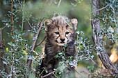 Endangered cheetah cub