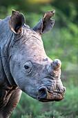 Ear-notched white rhino calf