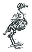 Bird skeleton, illustration