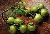 Grüne Tomaten an den Rispen
