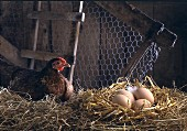 Hen with eggs in the straw