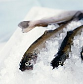 Trout in ice