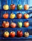Verschiedene Apfelsorten auf blauem Regal