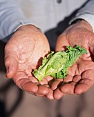 Cabbage leaf in hands
