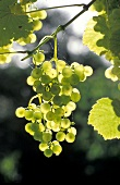 Bunch of white grapes on tree