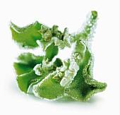 Ice plant leaf