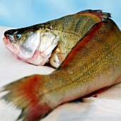 Fresh perch fish