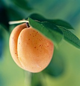 Eine Aprikose am Zweig