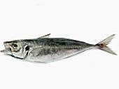 Saurel marine fish