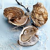Austern, geschlossen und geöffnet mit Meersalz