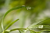 Drops of water on tarragon