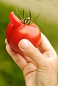 Hand hält eine deformierte Tomate mit Nase