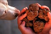 A dog sniffing fresh truffles