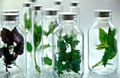 Fresh herbs in jars